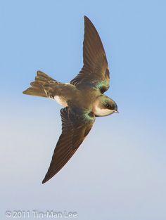Tree Swallow in Flight (Tree Swallow - Tachycineta bicolor) - photo by Tin Man Lee