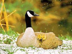 Canada Goose' authentic new orleans
