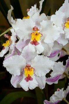 Oncidium nobile 'Mary'   Flickr - © Nurelias