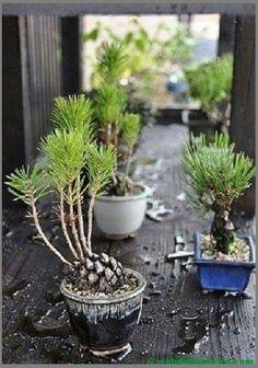 Nästan Bonsai, Gro kottar… – My Home Decoration Indoor Garden, Indoor Plants, Outdoor Gardens, Bonsai Garden, Garden Plants, Garden Mulch, Bonsai Plants, Garden Sheds, Garden Tools