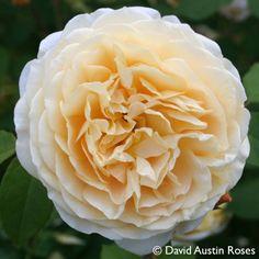 Pflanzen-Kölle Englische Rose 'Teasing Georgia' (Ausbaker) David Austin.  Gelbblühende Englische Rose mit zarter Schönheit und sehr angenehmem Teerosenduft.