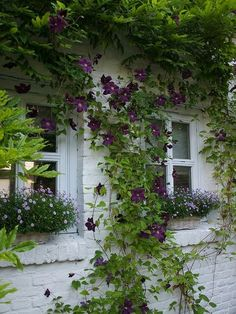 Growing with Plants: Clematis vine and window boxes in purple Clematis Vine, Purple Clematis, Climbing Clematis, White Clematis, Garden Cottage, Brick Cottage, Cottage Windows, Garden Bar, Rose Cottage