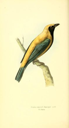 Zoological illustrations, or, Original figures and descriptions of new, rare, or interesting animals, selected chiefly from the classes of ornithology, entomology, and conchology, and arranged according to their apparent affinities (1829)