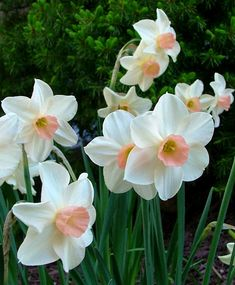 Narcissus Bell Song - Jonquilla Narcissi - Narcissi - Flower Bulb Index Narcissus Flower, Daffodil Flowers, Daffodils, Tulips, Pink Cups, Spring Bulbs, Spring Sign, Bulb Flowers, Pale Pink