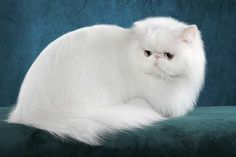 White Persian Cat with Blue Eyes | White Persian Picture Gallery