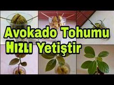 AVOKADO TOHUMU EVDE YETİŞTİR HIZLI ÜRETME TEKNİKLERİ FAYDALARI / HOW TO ... Growing An Avocado Tree, Growing Spinach, Vegetable Planting Calendar, Planting Vegetables, Grapevine Christmas, Christmas Cactus, Companion Gardening, Container Vegetables, Bottle Garden