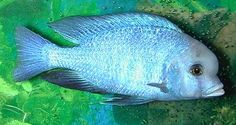 Rare African Cichlids | African Lake Malawi Cichlids Information at Rare-Tropicalfish.com