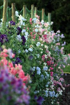 Sweet peas! Soak seeds 24 hours before planting then sow directly in the garden, (fall in mild climates, spring in cold climates) Run your rows north-south for best sun exposure.