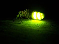 45 best Firefly beetles images on Pinterest   Butterflies  Fireflies     Lampyris noctiluca   http   k31 kn3 net taringa 3