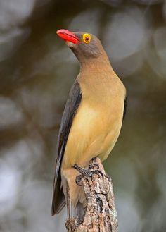Red-billed Oxpecker (Buphagus erythrorhynchus) by Ian N. Red Bill, Small Insects, Starling, Bird Species, Mammals, Birds, Amazing Nature, Yellow, Google