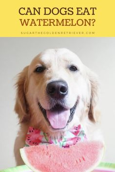 Everybody loves watermelon, even dogs. But is it safe for dogs to eat? The answer is yes, with a couple of precautions. To make it extra delightful, make a special #watermelontreat #watermelonpopsicle #candogseat #watermelonpops #fruitfordogs #goldenretriever Watermelon Facts, Can Dogs Eat Watermelon, Watermelon Rind, Harvest Season, Beta Carotene, Homemade Dog Treats, Pink Grapefruit, Dog Eating, Organic Farming