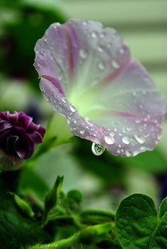 Dew on a morning glory. ...And yet I say unto you, that even Solomon in all his glory was not arrayed like one of these. ~Matthew 6:29