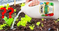 diy hacks tips are offered on our site. Check it out and you wont be sorry you did. Heinz Vinegar, Clean Pots, Weird Plants, Acetic Acid, How To Clean Metal, Garden Guide, Diy Hacks, Pest Control, Fresh Flowers