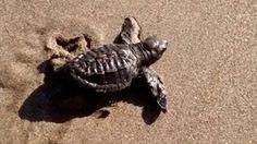 Headed out to sea ~  Sea turtle, Las Penitas, Nicaragua, Nicaragua