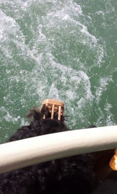Watching the waves. muzzled on the vaporetto (water bus) between Lido di Venezia and Giardini for Moos' first visit to the Biennale di Venezia, 20150506 Australian Labradoodle, Waves, Wave