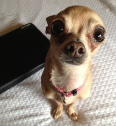 14 Reasons Chihuahuas Are The Worst Indoor Dog Breeds Of All Time. Not!