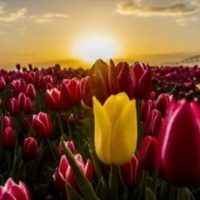 Tulip Field in Konya Makes People Amazed Turkish Recipes, Ethnic Recipes, Iftar, Sushi, Pizza, Stuffed Peppers, Canning, Fruit, Vegetables