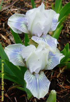 SDB Iris germanica 'Miss Meredith' (Spoon, 2002)