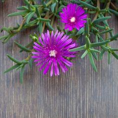 Nome científico: Lampranthus productus. O cacto margarida é uma suculenta rasteira com muitas flores formadas no verão e na primavera. Para seu melhor desenvolvimento, precisa de pleno sol e solo bem drenado. Fotografia: Getty Images.