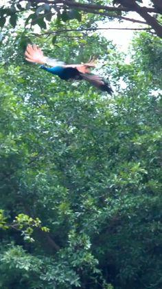 Have You Ever Seen a Peacock Flying Most Beautiful Birds, Beautiful Nature Pictures, Beautiful Nature Scenes, Amazing Nature, Animals Beautiful, Weird Birds, Funny Birds, Cute Birds, Pretty Birds