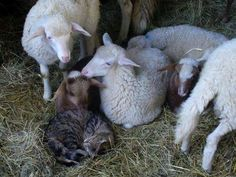 Counting sheep is always guaranteed to make you sleep!  Good night and sweet dreams.