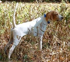 english pointer dog photo | English Pointer : Dog Breed : Video : Photos : Information