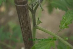 "Tomato plants: The small growth coming out at the leaf axil is a ""sucker"" and should be removed when staking plants."