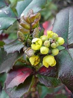 A low growing plant, the Oregon Grape is native to much of the Pacific Coast and found sparsely east of the Cascades. Its year-round foliage of pinnated, waxy green leaves resembles holly. The plant bears dainty yellow flowers in early summer and a dark blue berry that ripens late in the fall. The fruit can be used in cooking.