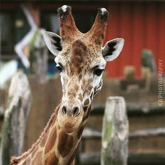 Giraffe :) Taken at the zoo in Kristiansand. #giraffe,#giraff,#sjiraff,#zoo,#dyrepark,#dyreparken,#dyreparkenkristiansand,#kristiansanddyrepark,#kristiansand,#sørlandet,#norge,#norway,#summer,#sommer#,vampbea,#beautiful,#animal Kristiansand, Giraffe, Instagram Posts, Animales, Felt Giraffe, Giraffes