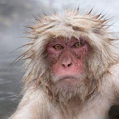 'Snow Monkey Portrait,' by Charles Glatzer