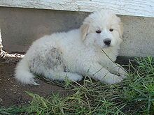 Great Pyrenees - I want one! my future guard dog :)
