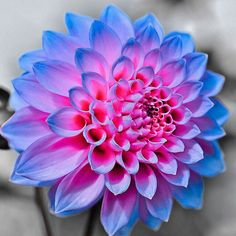 Dahlia Seeds, Indoor Potted Ornamental Flower Seeds, Dahlia Flower Seeds Perennial Plant Seeds, Plants Purify the Air Flowers Nature, Exotic Flowers, Amazing Flowers, My Flower, Colorful Flowers, Flower Power, Beautiful Flowers, Unique Flowers, Dahlia Flower Tattoos