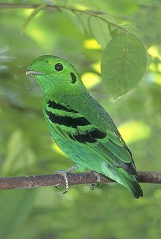 The Green Broadbill (Calyptomena viridis), also known as the Lesser Green Broadbill, is a small bird in the broadbill family.  It is distributed in broadleaved evergreen forests of Borneo, Sumatra, and the Malay Peninsula.