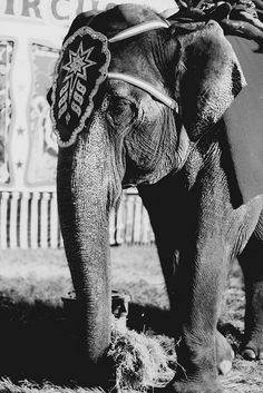 This poor creature forced to spend  it's life as circus performer. I think he/she looks so sad.