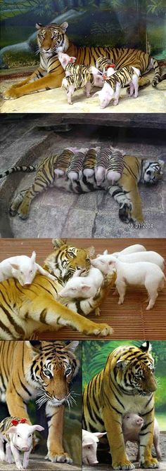 She lost her cubs to premature birth.    When she became depressed they gave her the piglets which she now treats as her   own.