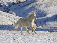 cavallo palomino wallpaper