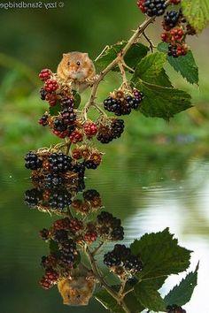 Fox Painting, Berries, Fruit, Fox Drawing, Bury, Blackberry, Strawberries