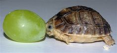 A tiny month-old Egyptian tortoise is pictured next to a grape at ZSL Whipsnade Zoo, Bedfordshire.