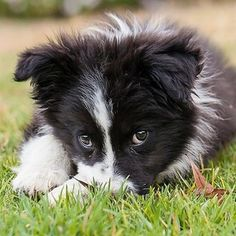 The Shetland Sheepdog originated in the and its ancestors were from Scotland, which worked as herding dogs. These early dogs were fairly sm Cute Puppies, Cute Dogs, Dogs And Puppies, Doggies, Border Collie Puppies, Collie Dog, Australian Shepherds, West Highland Terrier, Scottish Terrier