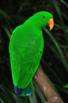 The Eclectus Parrot, Eclectus Roratus, is a parrot native to the Solomon Islands, Sumba, New Guinea and nearby islands, North Eastern Australia and the Maluku Islands.