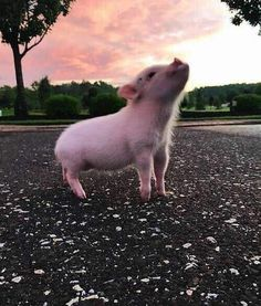 Cute Animal Pictures: 150 Of The Cutest Animals! Baby Animals Pictures, Cute Animal Pictures, Animals And Pets, Farm Animals, Animals Images, Cute Baby Pigs, Cute Piglets, Baby Piglets, Tiny Pigs