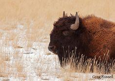 Wyoming, US~ buffalo
