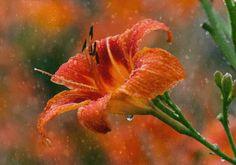 Анимация Оранжевый цветок в каплях воды под дождем