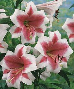 Triumphator L.O. Hybrid Lily