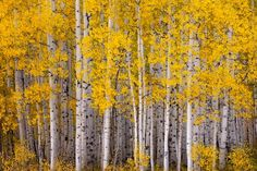 Beautiful Aspens!  I've been to Colorado twice & can't wait to go again :)