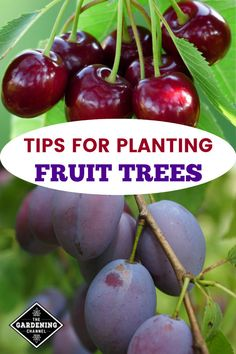 how to plant fruit trees correctly so that you can have a healthy home orchard and grow your own fruit at home.Learn how to plant fruit trees correctly so that you can have a healthy home orchard and grow your own fruit at home. Planting Fruit Trees, Fruit Tree Garden, Growing Fruit Trees, Fruit Plants, Garden Trees, Trees To Plant, Tomato Plants, Box Garden, Growing Mushrooms
