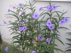Mexican petunia..Love these...full of blooms until first frost!! Grow and multiply fast.