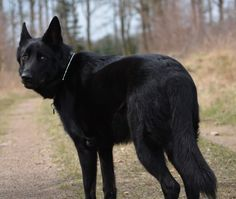 German Sheperd Dogs, Black German Shepherd Dog, German Shepherds, Cute Wild Animals, Cute Funny Animals, Animals And Pets, Beautiful Wolves, Beautiful Dogs, Black Shepherd