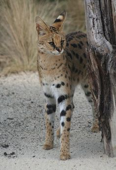 Serval, maybe Clyde was part? Tall like him. Small Wild Cats, Big Cats, Cats And Kittens, Cats Meowing, Rare Cats, Exotic Cats, Beautiful Cats, Animals Beautiful, Adorable Animals