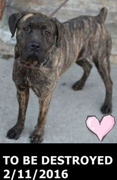 SAFE❤️❤️ 2/13/16 BY LAST CHANCE ANIMAL RESCUE (LACAR)❤️ THANK YOU❤️ Brooklyn Center MAPLE – A1064171 FEMALE, BR BRINDLE, AMERICAN STAFF MIX, 2 yrs STRAY – STRAY WAIT, NO HOLD Reason STRAY Intake condition EXAM REQ Intake Date 02/01/2016 http://nycdogs.urgentpodr.org/maple-a1064171/
